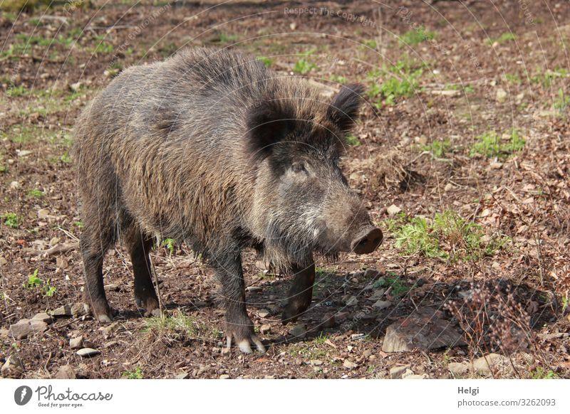 Wildschwein auf Futtersuche im Wald Umwelt Natur Pflanze Tier Erde Sommer Schönes Wetter Gras Wildtier Bache 1 Blick stehen authentisch außergewöhnlich