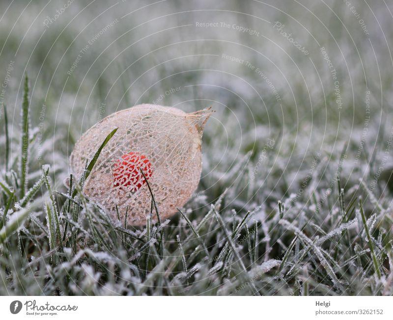 Frucht einer Physalis mit netzartiger Hülle und Raureif liegt im gefrorenen Gras Umwelt Natur Pflanze Winter Eis Frost Garten frieren liegen authentisch