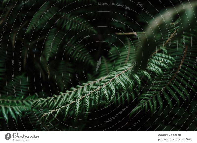Natürliches Muster mit Farnblättern Wurmfarn Blätter tropisch Hintergrund natürlich grün Pflanze Natur Neuseeland Laubwerk Wald Botanik Öko Zweig schön