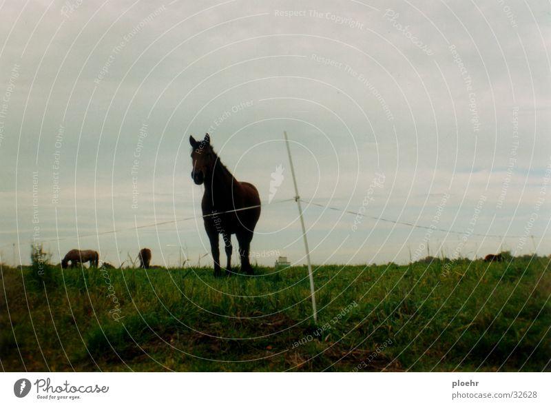 PferdeWiese Tier dunkel Wiese Pferd