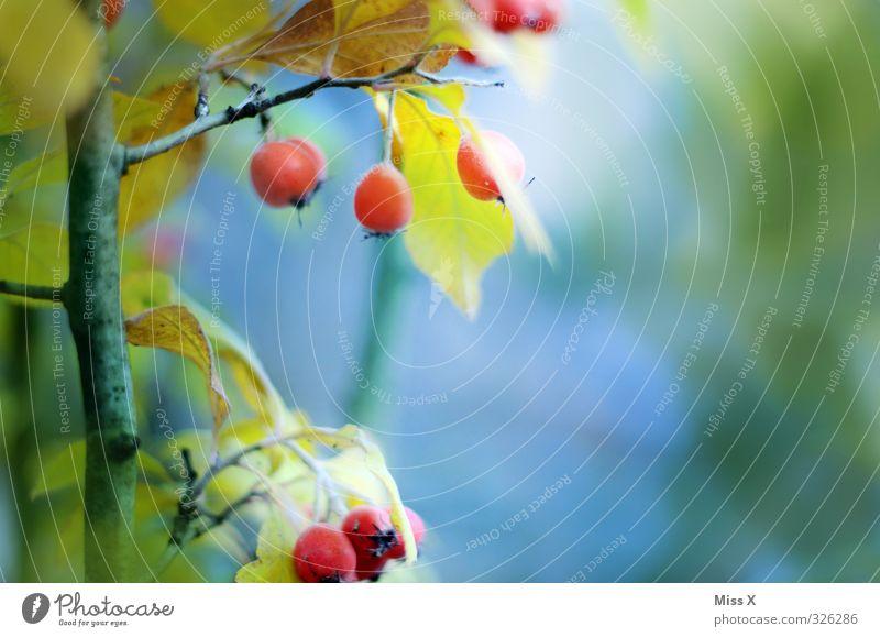 Herbstfrucht Frucht Pflanze Blatt Wachstum rot Zierapfel Apfel Apfelbaum Zweig Ast Farbfoto mehrfarbig Außenaufnahme Nahaufnahme Menschenleer