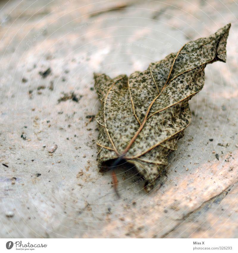 30 Herbst Blatt dehydrieren alt herbstlich Herbstlaub vertrocknet Blattadern Tod verrotten Farbfoto Gedeckte Farben Nahaufnahme Strukturen & Formen Menschenleer