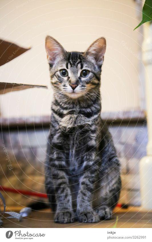 4 Monate alt Häusliches Leben Tier Katze Savannah 1 Tierjunges hocken Blick authentisch niedlich Mitte Rahmen Tigerfellmuster Wachsamkeit Farbfoto mehrfarbig
