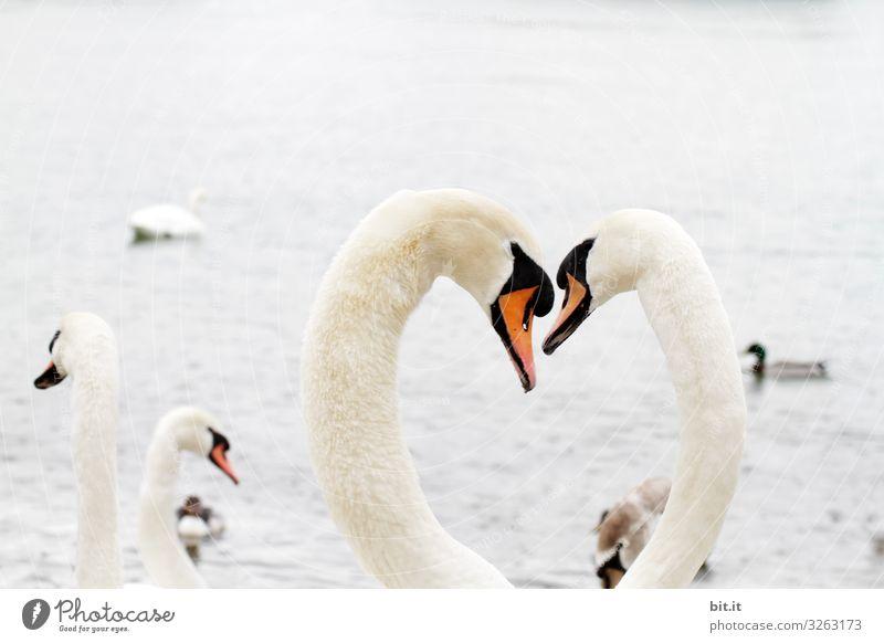 Verliebte Schwäne, bilden Herz, am Wasser. Ferien & Urlaub & Reisen Ausflug Abenteuer Umwelt Natur Landschaft Himmel Küste See Fluss Tier Tiergruppe Gefühle
