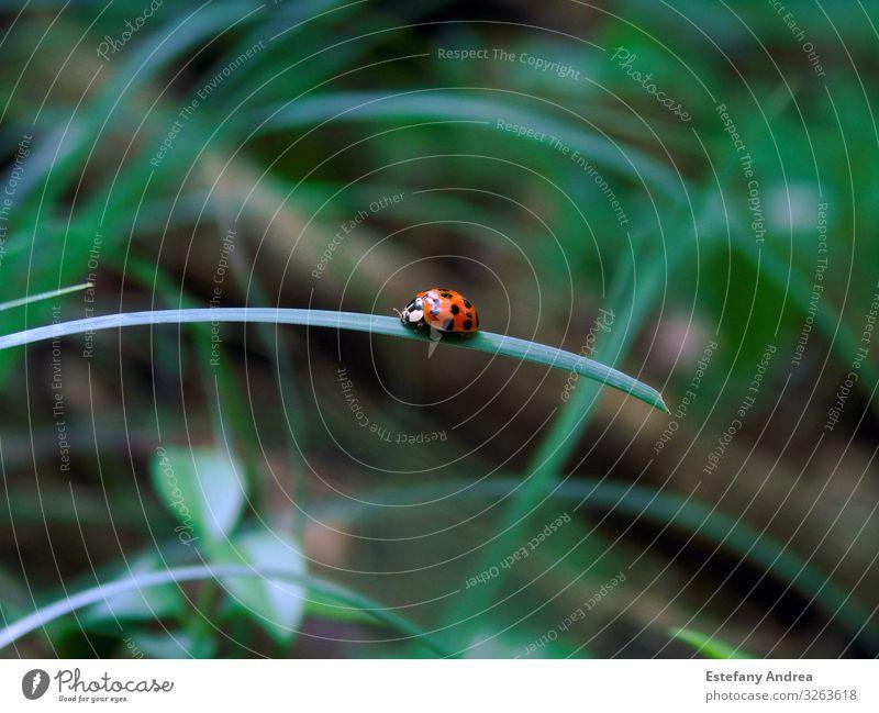 Kleiner Marienkäfer auf einem Grasblatt Tier Wildtier Käfer 1 Lebensfreude Frühlingsgefühle Akzeptanz Vertrauen Sicherheit Schutz Tierliebe schön friedlich