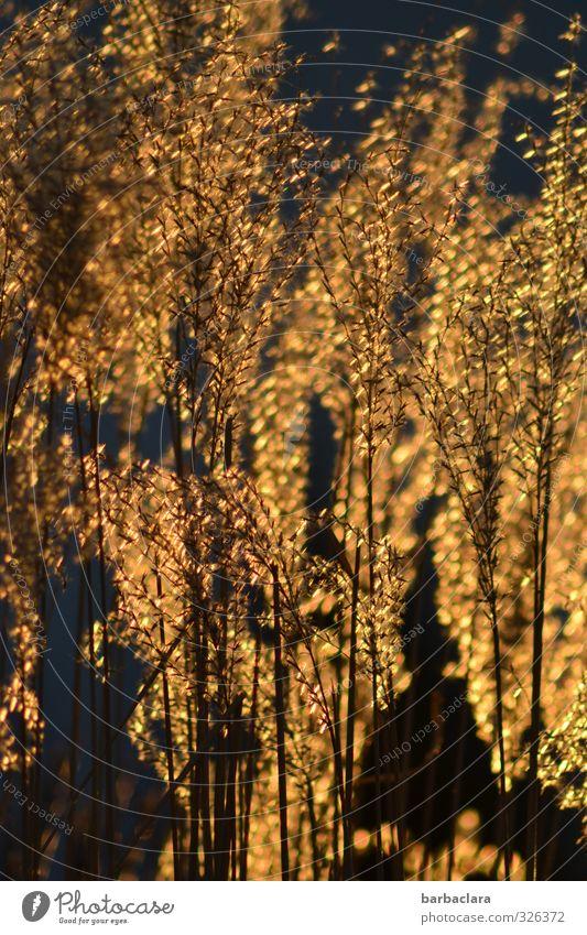 infiziert | Goldrausch Natur Pflanze Frühling Glück Garten Stimmung gold glänzend wild leuchten Wachstum Sträucher ästhetisch Warmherzigkeit viele geheimnisvoll