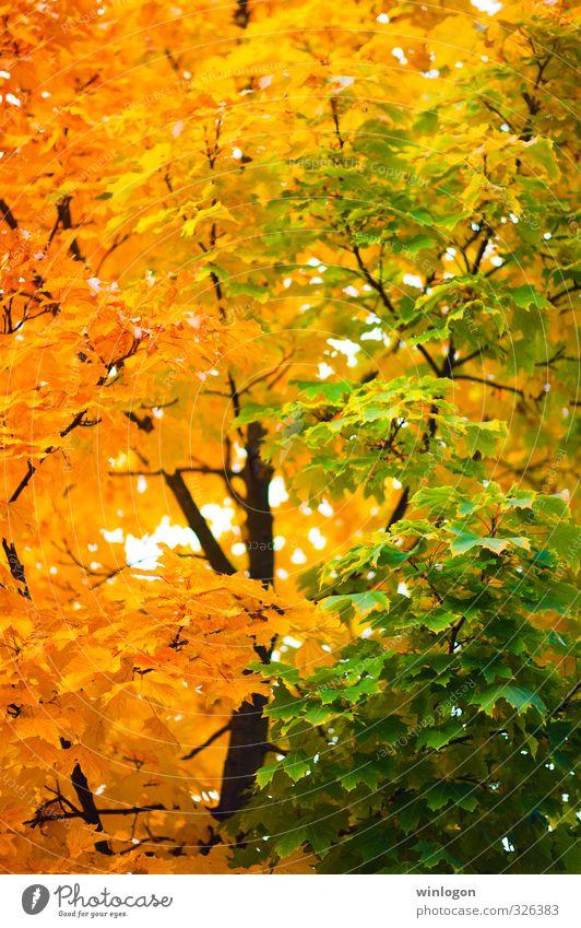 Gelbgrün Kunst Natur Pflanze Herbst Schönes Wetter Baum Blatt Herbstfärbung Farbenspiel gelb Herbstlaub Garten Park Wald Erholung mehrfarbig Gefühle Stimmung