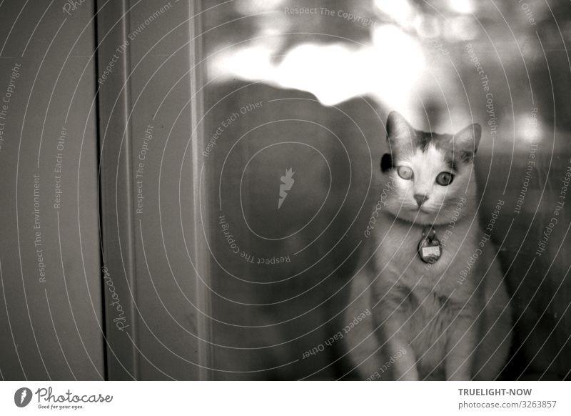 Die Katze mit dem magischem Blick (s/w analog KB) elegant Stil Freude Glück schön Freizeit & Hobby Häusliches Leben Wohnung Raum Fenster Haustier Tiergesicht