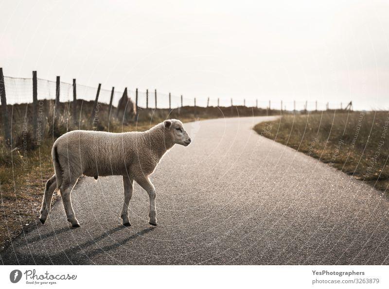 Schafe auf der Straße. Lamm, das auf einer Gasse läuft. Baby Schafe überqueren Straße Sommer Landschaft Nordsee Wege & Pfade Tier Nutztier 1 Tierjunges frei