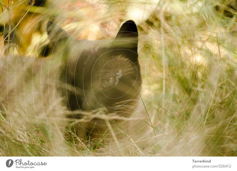 katzenauge Umwelt Natur Sommer Schönes Wetter Pflanze Gras Sträucher Wildpflanze Wiese Tier Haustier Katze Tiergesicht 1 atmen Erholung liegen Blick sitzen