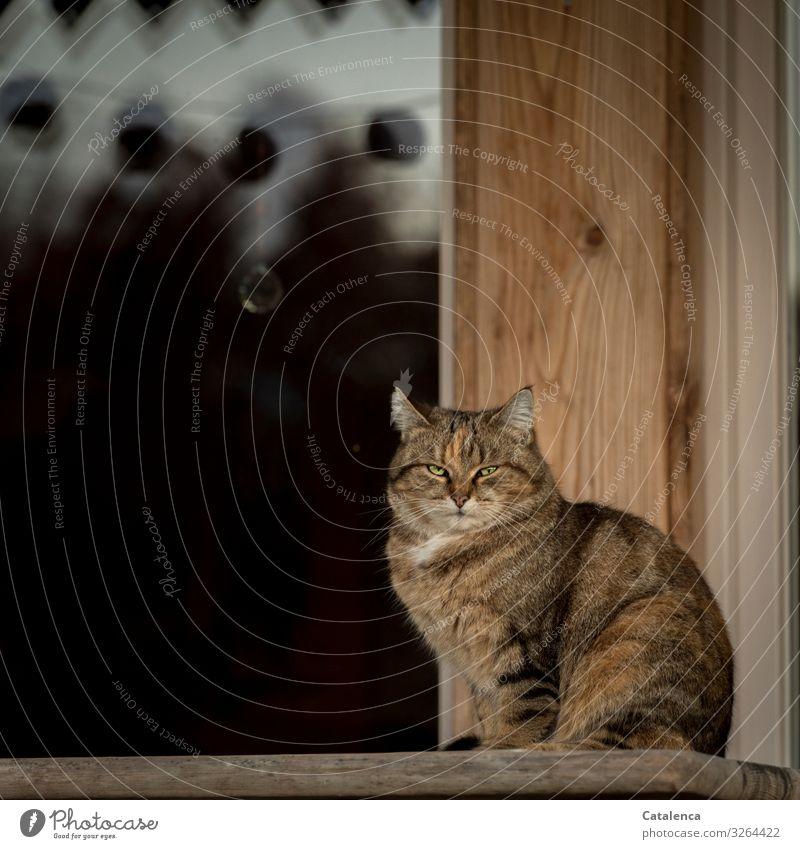 Warten Winter Hütte Fassade Fenster Haustier Katze 1 Tier Holz beobachten sitzen schön braun schwarz selbstbewußt Farbfoto mehrfarbig Außenaufnahme Nahaufnahme