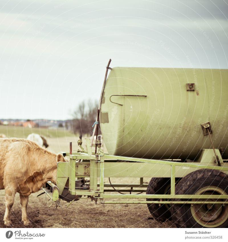 lunch Natur Winter Wiese Feld Nutztier Tiergruppe Fressen muskulös weich gold Kuh Kuhherde Essen Viehtränke Wasserstelle Farbfoto mehrfarbig Außenaufnahme Tag