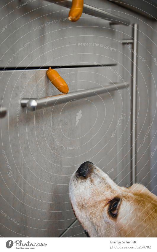 Ein frecher Beagle lechzt nach Würstchen Wurstwaren Küche Haustier Hund 1 Tier beobachten Denken Duft fallen Fressen träumen Armut lecker grau Vorfreude