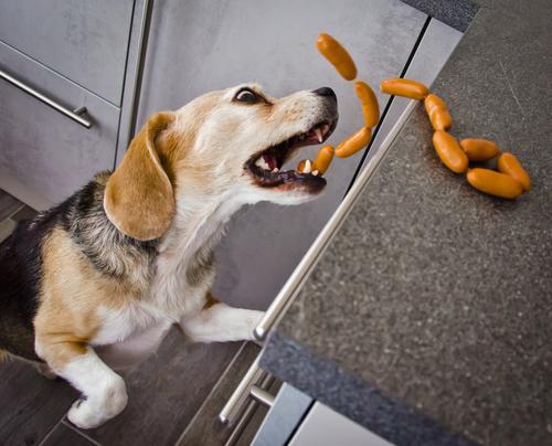 Ein frecher Beagle stiehlt in der Küche Würstchen Hund Tier Essen lustig lachen braun grau wild Fröhlichkeit niedlich Coolness lecker Haustier Leidenschaft