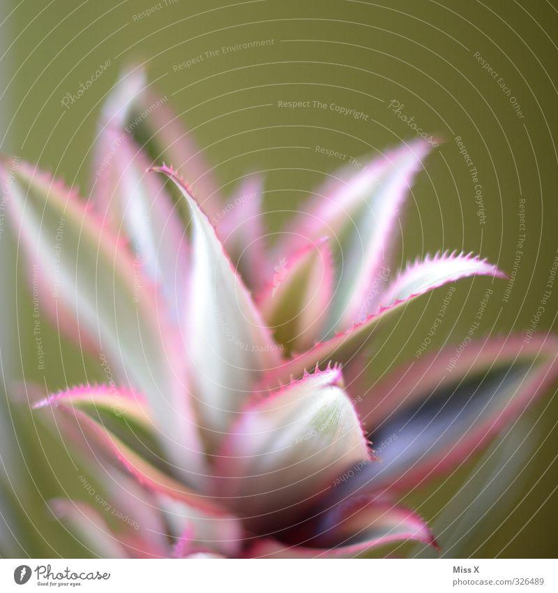 Ananas :-D Frucht stachelig Ananasblätter Blume Blatt Stachel Farbfoto mehrfarbig Nahaufnahme Makroaufnahme Strukturen & Formen Menschenleer Textfreiraum oben