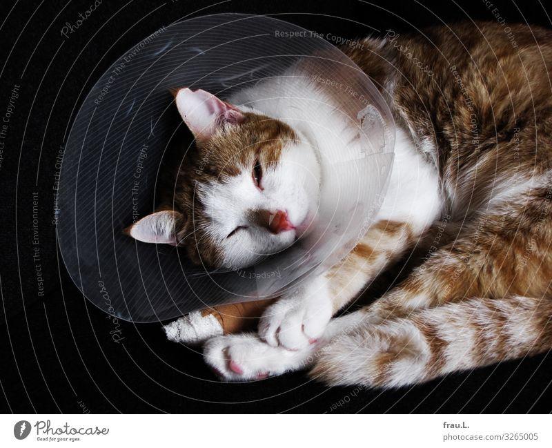 Kranker Kater Katze schön Tier Gesundheit träumen liegen warten einzigartig Hauskatze Haustier Schmerz Pfote geduldig Wunde Operation Wirbelsäule