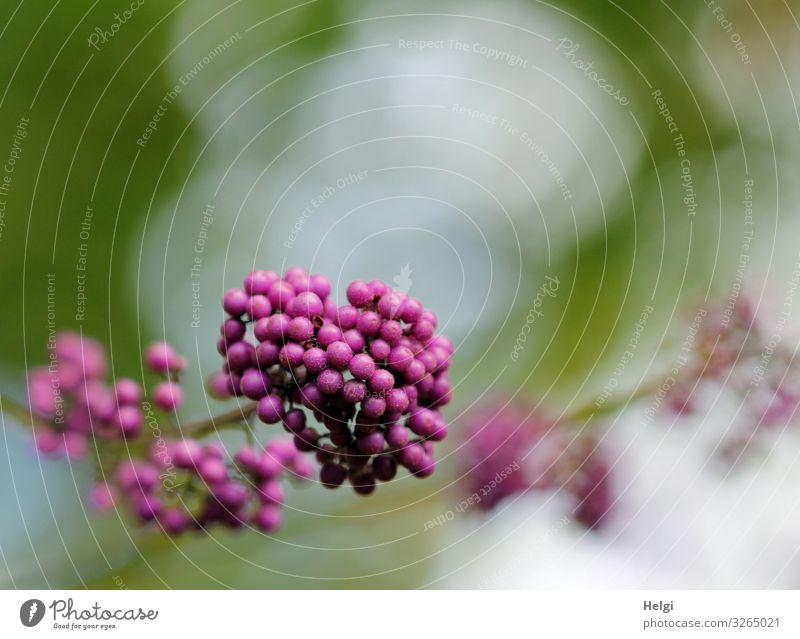 Nahaufnahme von Samenständen des Liebesperlenstrauches Umwelt Natur Pflanze Herbst Sträucher Fruchtstand Chinesische Schönfrucht Zweig Garten festhalten