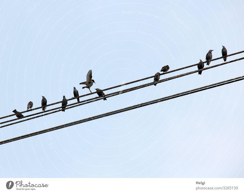 mehrere Stare sitzen auf einer Stromleitung Tier Wildtier Vogel Schwarm Kabel Metall Linie Bewegung Blick ästhetisch klein blau grau schwarz einzigartig Pause