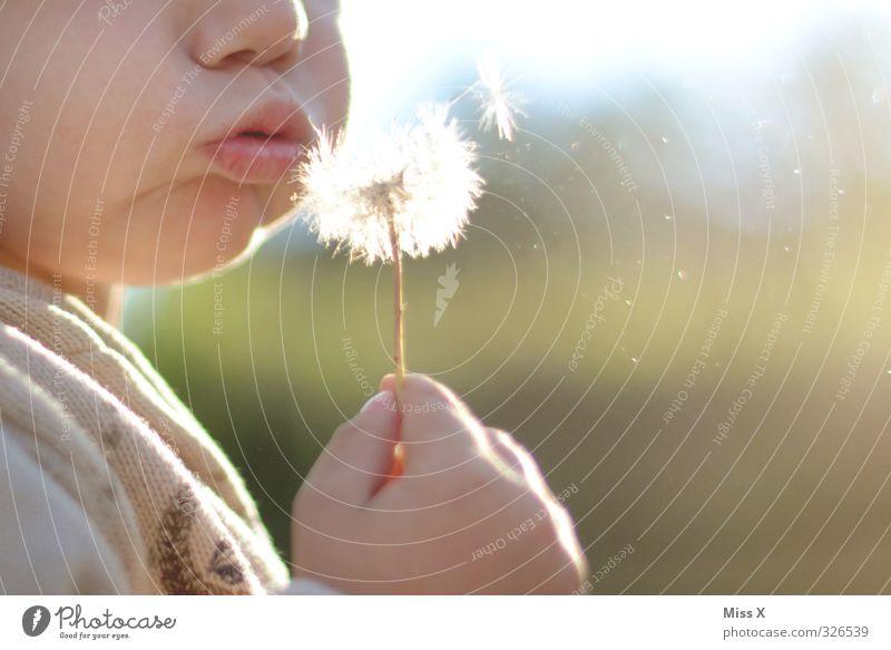 Pusten Mensch Kind Sommer Blume Freude Luft fliegen Kindheit niedlich Kleinkind Löwenzahn blasen Kinderspiel 3-8 Jahre 1-3 Jahre