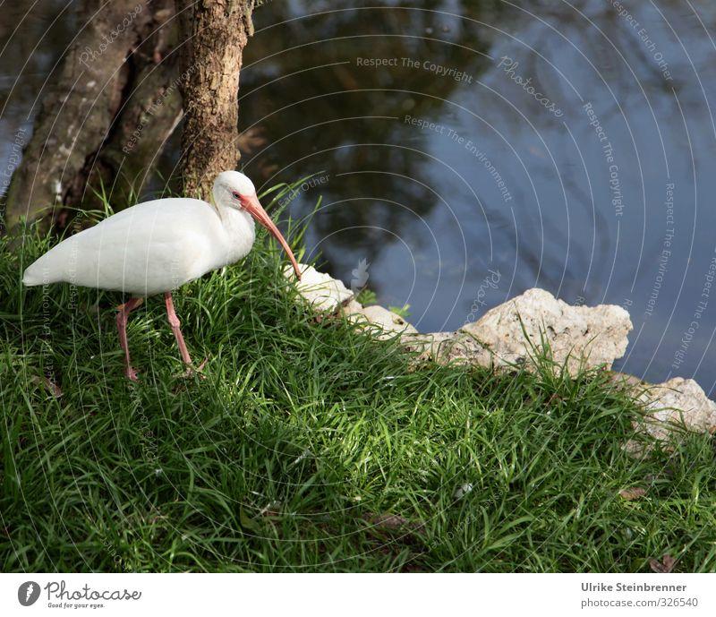 Weiß-heit III Landschaft Pflanze Tier Frühling Gras Park Wiese Küste Flussufer Wildtier Vogel Zoo Reiher 1 beobachten stehen warten natürlich Neugier