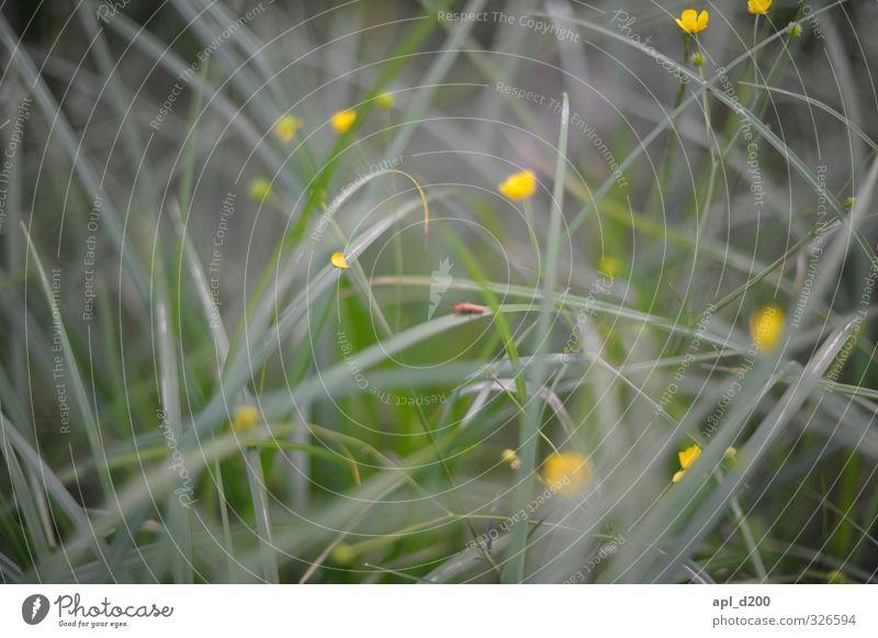 Zwischenwelt Natur grün Pflanze Tier gelb Umwelt Wiese Gras sitzen Zufriedenheit Sträucher ästhetisch einzigartig Käfer Sumpf-Dotterblumen
