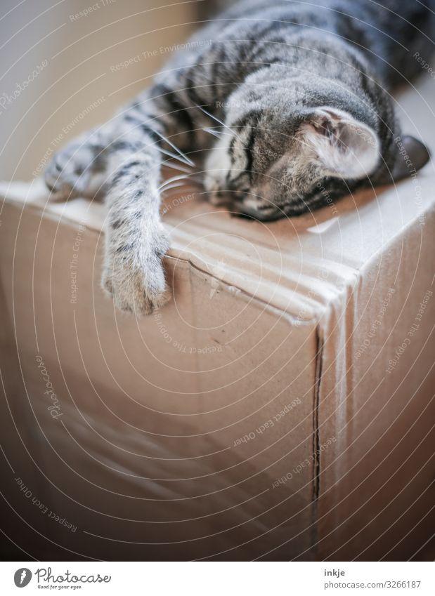 Der Karton. Tier Katze 1 Tierjunges Pappschachtel Umzugskarton liegen Spielen authentisch niedlich braun Tigerfellmuster einfach Krallen Farbfoto Innenaufnahme