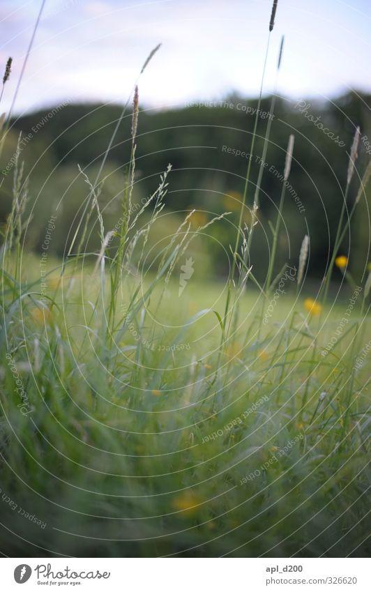 Durchblick Umwelt Natur Landschaft Pflanze Tier Blume Gras Sträucher stehen schön gelb grün Zufriedenheit Sumpf-Dotterblumen Grasland Farbfoto Außenaufnahme