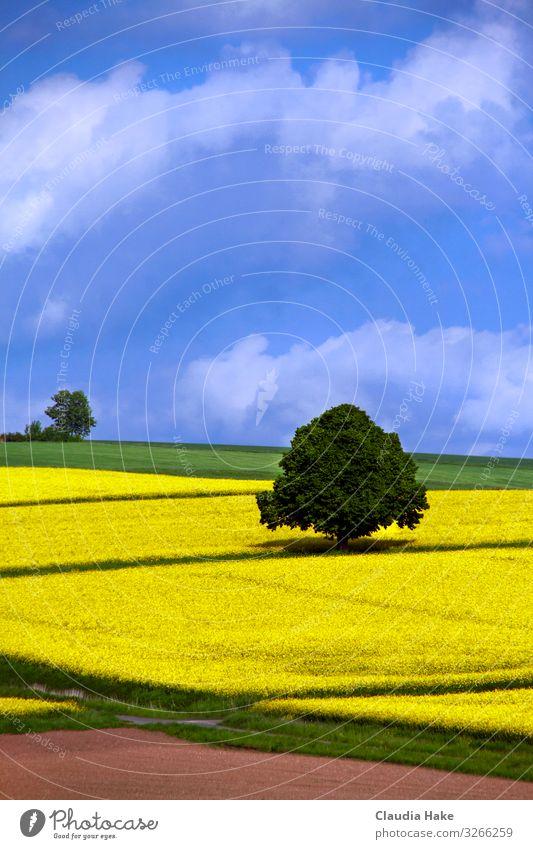 Baum im Rapsfeld Ferne Landwirtschaft Forstwirtschaft Natur Landschaft Pflanze Himmel Wolken Horizont Sonnenlicht Frühling Sommer Wetter Schönes Wetter Blüte