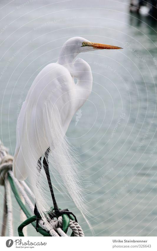Stolzer Habitus Tier Wasser Küste Wildtier Vogel Silberreiher 1 stehen warten elegant schön weiß Wachsamkeit Haltung Körperhaltung Feder Glätte zart Schnabel