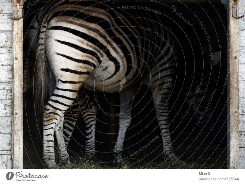 Zebrarsch Tier Wildtier 1 Fressen Schwarzweißfoto gestreift Streifen Heu Muster Menschenleer Tierporträt Rückansicht