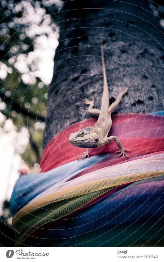 Reptil am Baum Natur Pflanze Tier Agamen 1 beobachten warten exotisch stachelig wild Tierliebe geduldig Tuch wickeln Wickeltuch Farbfoto Außenaufnahme