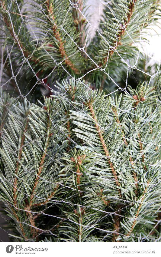 Nordmanntanne Dekoration & Verzierung Weihnachten & Advent Umwelt Natur Pflanze Baum Tanne Fichte Tannennadel Tannenzweig Zeichen Weihnachtsbaum Duft stehen