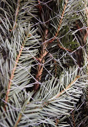 Nadeln im Netz Weihnachten & Advent Silvester u. Neujahr Natur Pflanze Baum Tanne Fichte Tannenzweig Tannennadel Zeichen Weihnachtsbaum Duft authentisch frisch