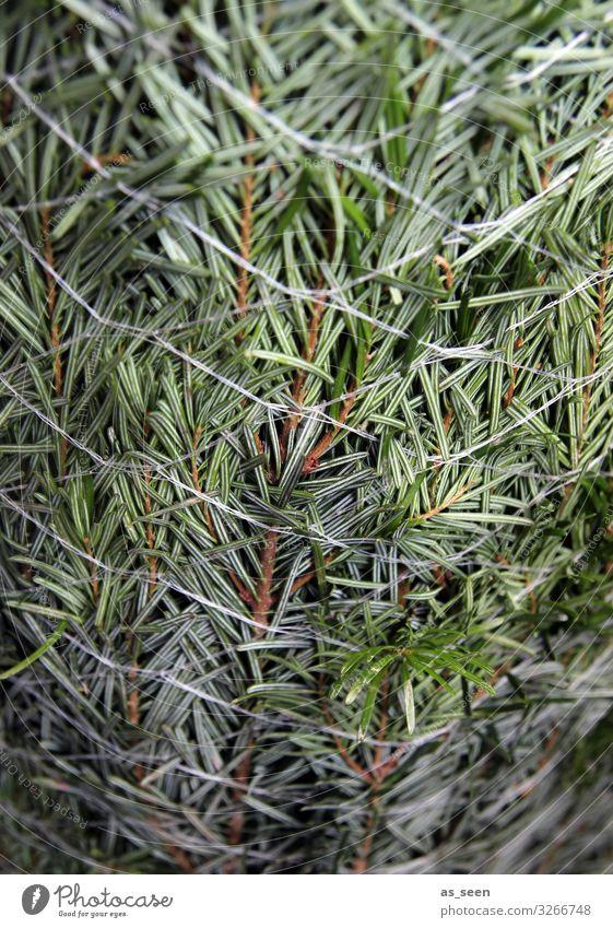 Nadeln im Netz Weihnachten & Advent Pflanze Baum Tanne Fichte Weihnachtsbaum Tannenzweig Tannennadel Zeichen authentisch frisch nah natürlich grün Duft Farbe