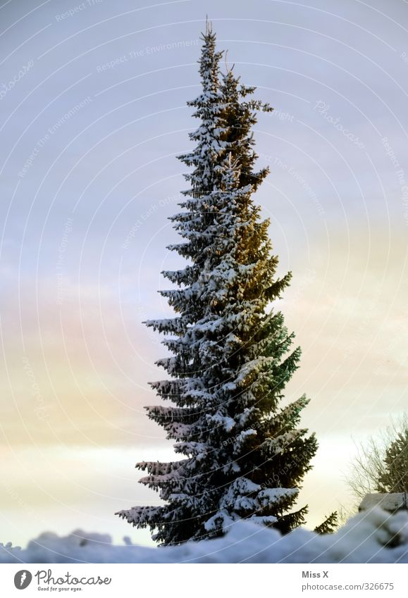 Wintertag Eis Frost Baum kalt Tanne Winterstimmung Winterwald Farbfoto Außenaufnahme Menschenleer Textfreiraum links Textfreiraum rechts Morgen Morgendämmerung