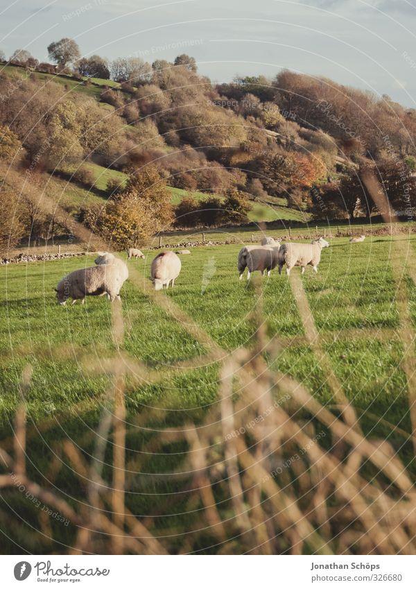 britische Landschaft II Umwelt Natur Herbst Schönes Wetter Gras Grünpflanze ästhetisch Baum des Lebens Mitte Berghang Menschenleer England Englisch