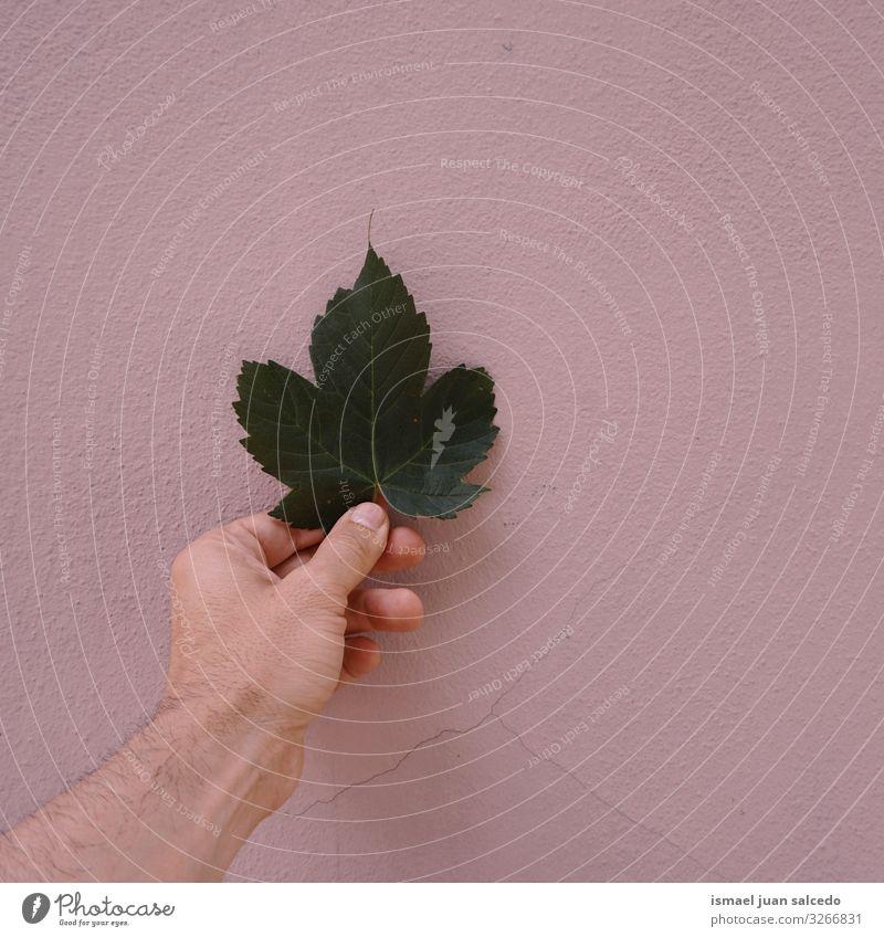 Hand mit grünem Blatt an der rosa Wand Finger Körperteil Halt Gefühle berühren Natur frisch Sonnenlicht hell Außenaufnahme schön zerbrechlich Hintergrundbild