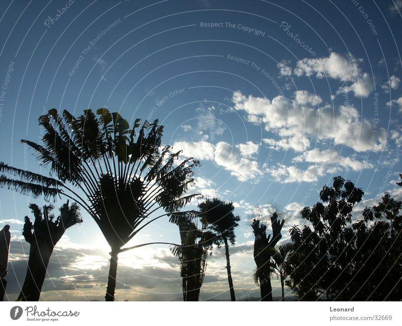 Bäume Himmel Baum Pflanze Wolken Afrika Palme Baumstamm Farbton