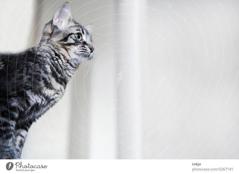 Katzenkind im Raum weiß Tier Tierjunges grau Häusliches Leben authentisch niedlich beobachten Neugier Tiergesicht kuschlig Tigerfellmuster Zimmerecke