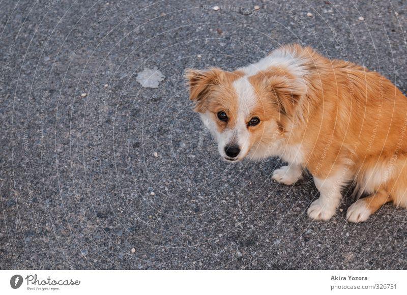 Wau? Tier Haustier Hund 1 Tierjunges beobachten Blick sitzen Traurigkeit frei kuschlig Neugier niedlich orange schwarz weiß Schutz Einsamkeit Fürsorge Hoffnung
