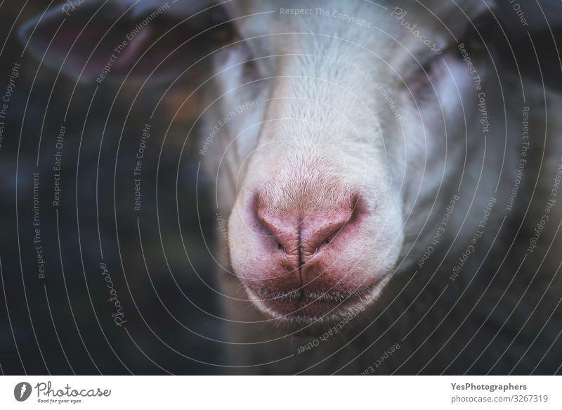 Schafsgesichtsportrait und selektiver Fokus. Rote Nase Schaf Nahaufnahme Gesicht Natur Tier Nutztier Tiergesicht 1 natürlich Neugier trist Deutschland