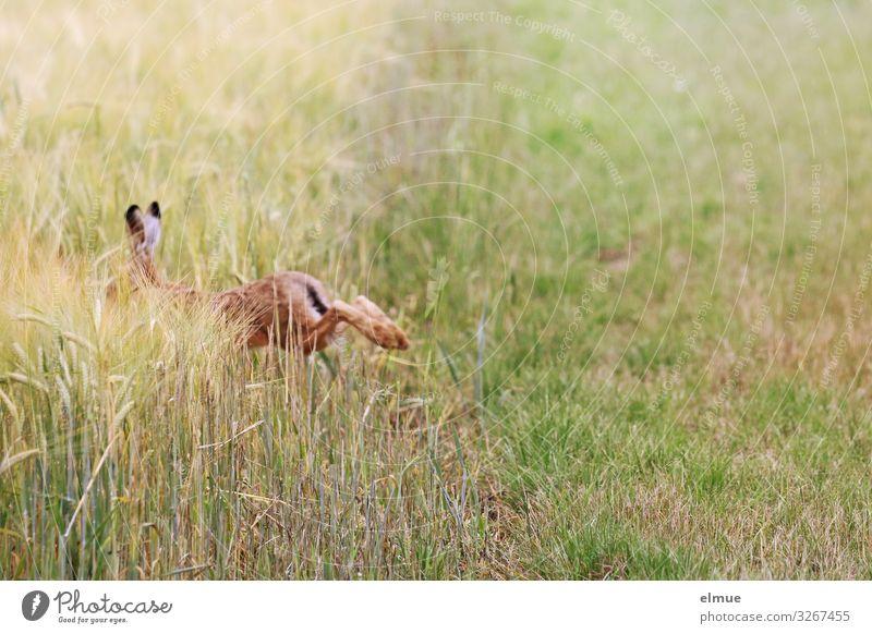 Flucht Tier Sommer Gras Getreidefeld Feld Wildtier Hase & Kaninchen Langohr Osterhase Löffel laufen sportlich frei Geschwindigkeit braun Angst Todesangst