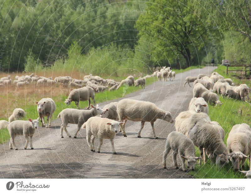 Schafherde unterwegs auf einer Dorfstraße im Moor Umwelt Natur Landschaft Pflanze Tier Frühling Schönes Wetter Gras Sträucher Sumpf Nutztier Herde Fressen gehen