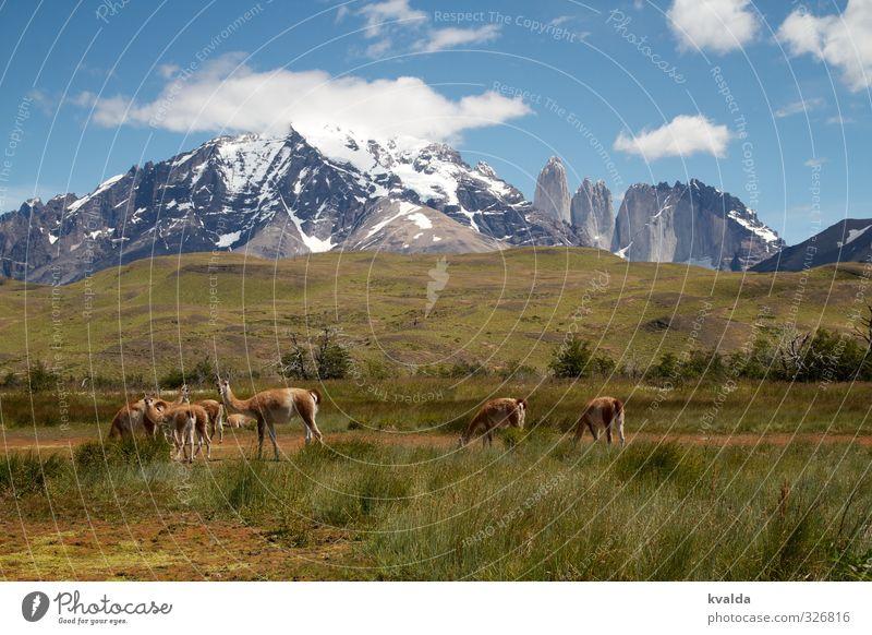 Patagonien / Torres des Paine Natur blau grün Pflanze Sommer Landschaft Tier Berge u. Gebirge grau wandern Tiergruppe Abenteuer Gipfel Schneebedeckte Gipfel