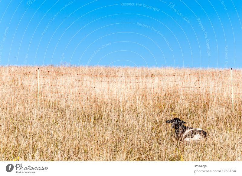 Suchbild Wolkenloser Himmel Schönes Wetter Gras Weide trocken heiß Lamm Schaf liegen Erholung verstecken hell