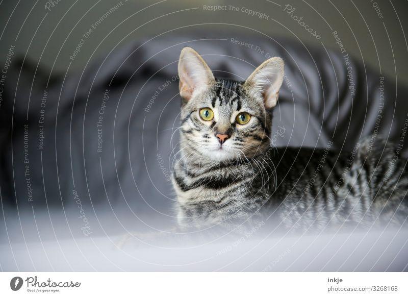 Svannah Mix Katze Haustier Tiergesicht Rassekatze Savannah 1 Tierjunges Blick Neugier niedlich Tigerfellmuster Farbfoto Innenaufnahme Nahaufnahme Menschenleer
