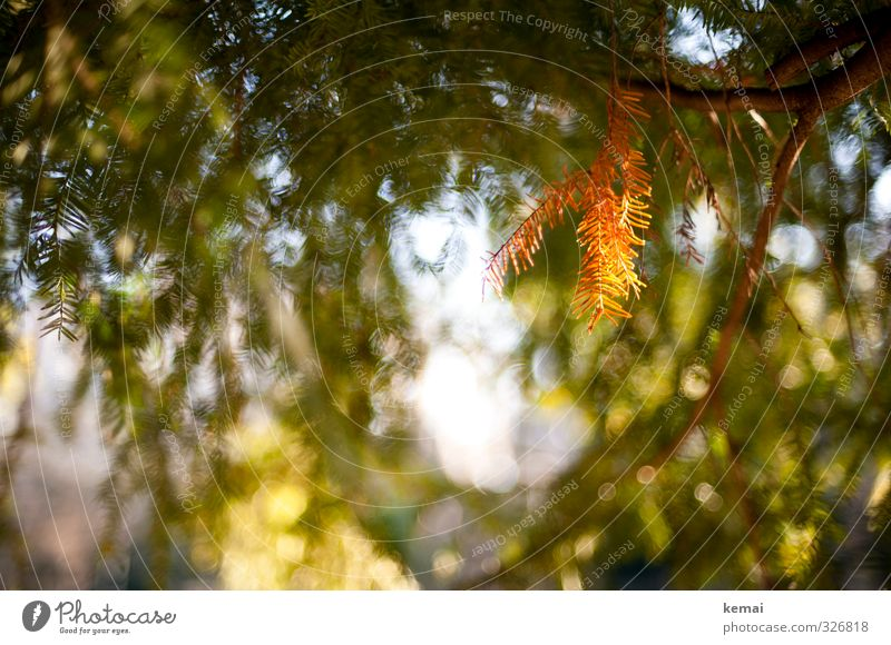 der etwas andere herbstlaubzweig Umwelt Natur Pflanze Sonne Sonnenlicht Herbst Baum Grünpflanze Nadelbaum Tannennadel Eibe hängen leuchten Wachstum Wärme grün