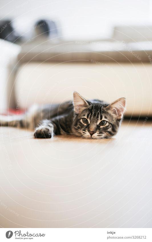 Rumliegen Katze Tier Tierjunges Häusliches Leben authentisch niedlich Boden Haustier Wohnzimmer Tiergesicht Tigerfellmuster