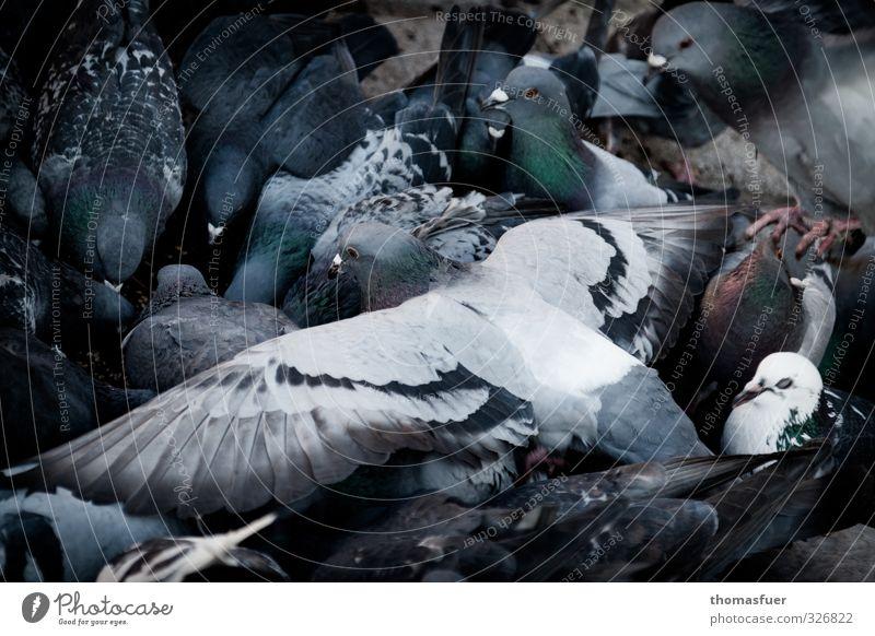 Schwarm Tier Stadt Straße Wildtier Taube Tiergruppe fliegen Fressen füttern krabbeln Ekel trashig grau gefräßig Konkurrenz Natur Konflikt & Streit