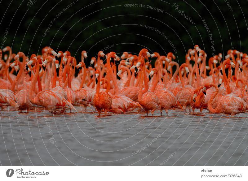 Größere Flamingos Tier Wildtier Vogel Tiergesicht Flügel Tiergruppe Schwarm Teleskop Wasser Fährte Schwimmen & Baden Bewegung entdecken laufen Spielen Tanzen